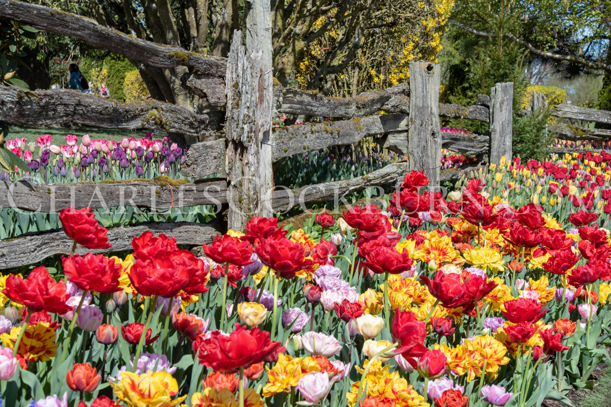 Symphony Of Color - tulips at CharlesCockburn.com